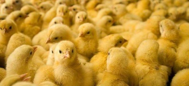 Что означает цыпленок или цыплята, привидевшиеся во сне