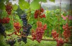 Сонник — виноград во сне, к чему снится