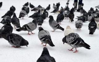 Сонник: к чему снятся голуби?