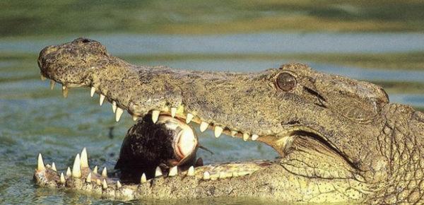крокодил кушает рыбку
