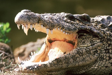 злой алигатор