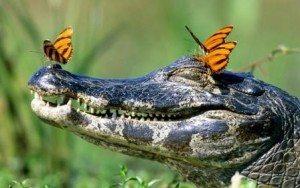 Если приснился крокодил