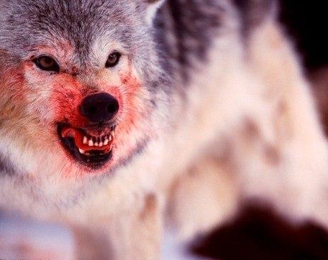 волк с кровавой пастью