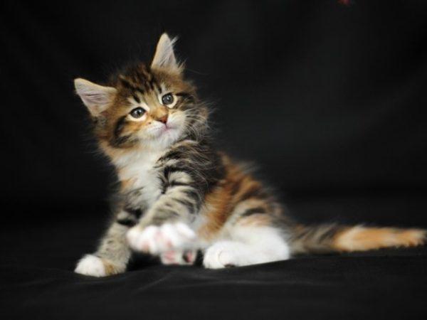 к чему приснился котёнок