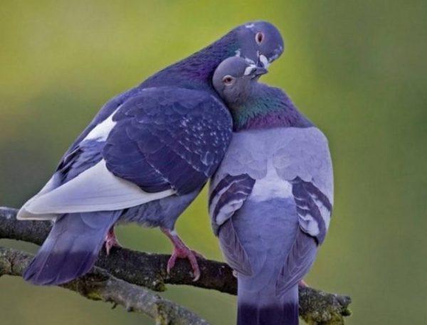 голуби сонник