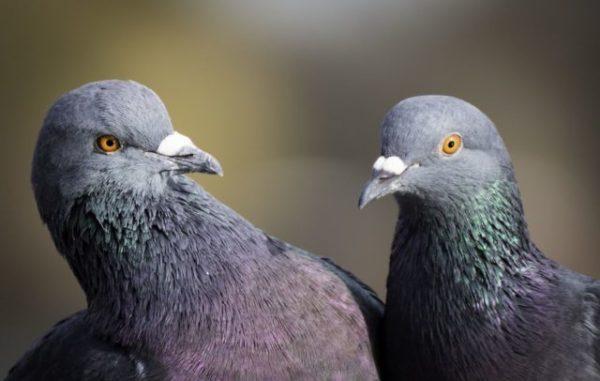 голуби во сне значение