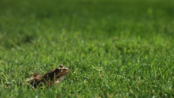 лягушки в траве