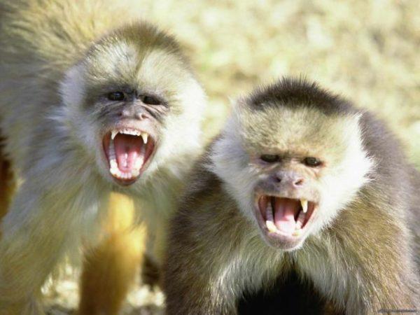 снятся кричащие обезьяны