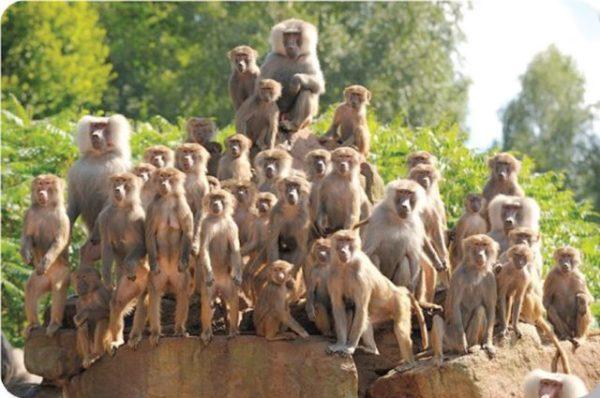 приснилось много обезьян
