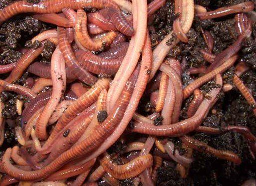 черви в земле