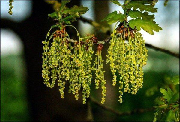 дубовые цветы