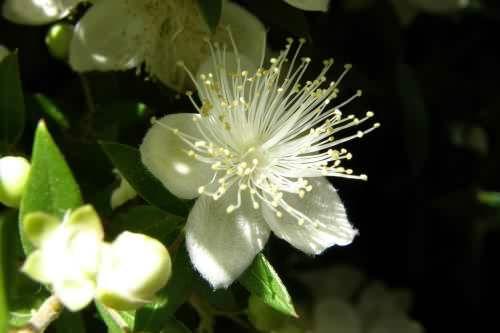 цветы инжира