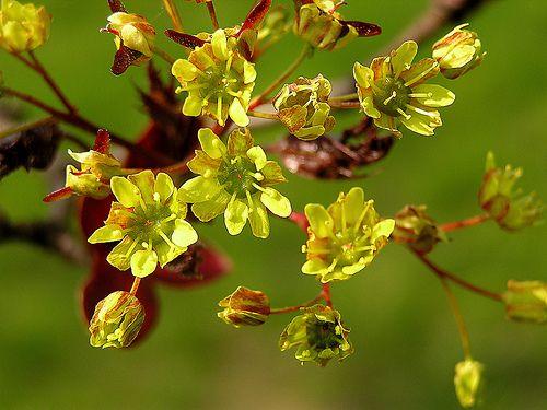 цветы клена
