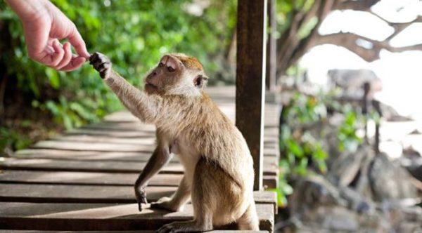 приснилось кормить обезьяну