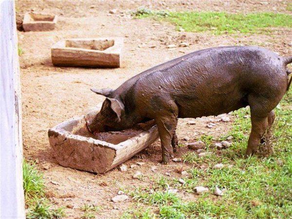 кушает свинка