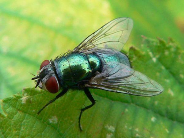 зеленая муха во сне