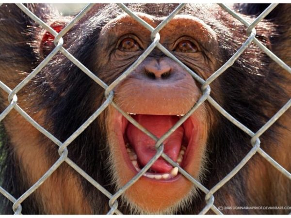 снится обезьяна в клетке