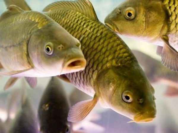 живые рыбы