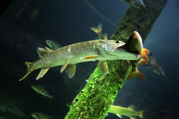 щука ест рыбу