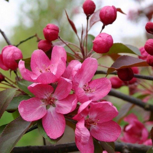 цветы яблони