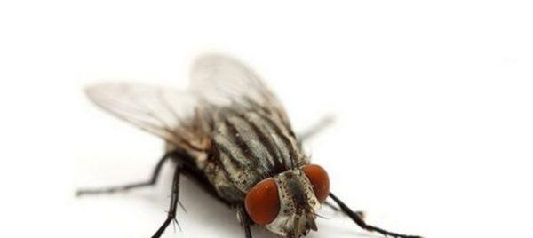 муха во сне