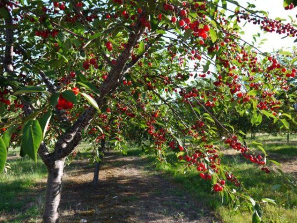 вишневое дерево приснилось